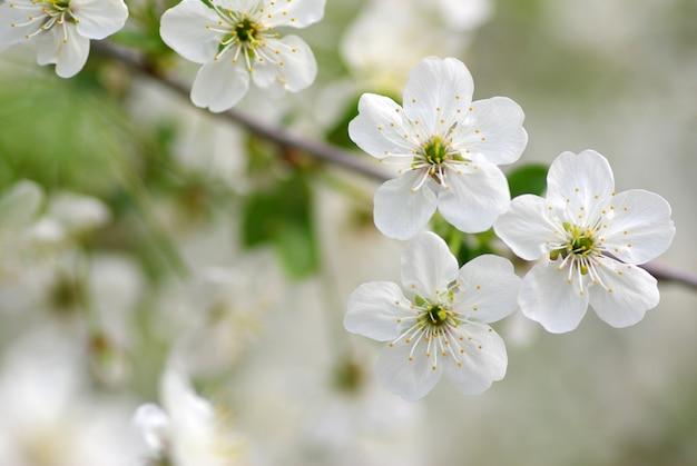 桜の木 Premium写真