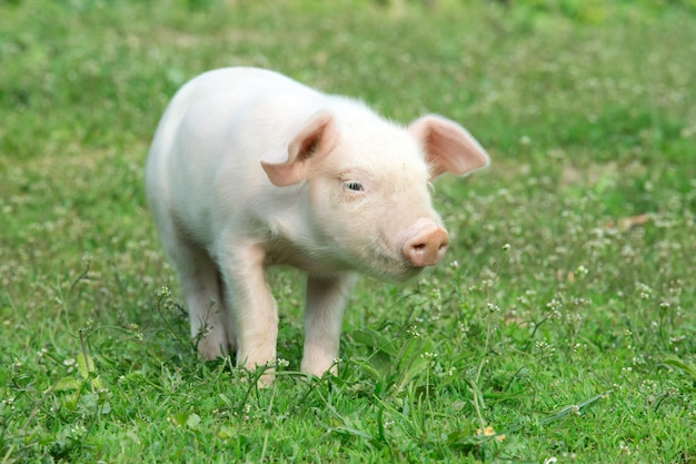 Молодая свинья Premium Фотографии