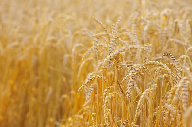 黄金の小麦 Premium写真