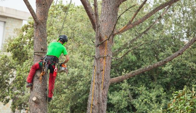 男剪定松の木。 Premium写真