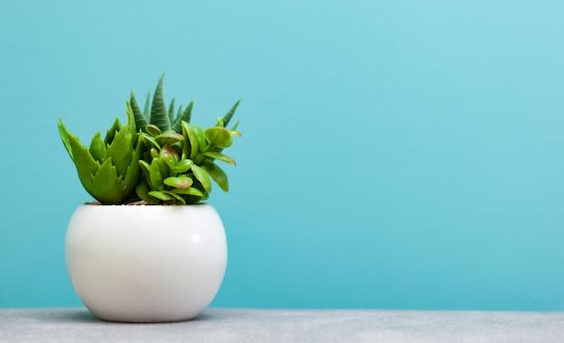 白い植木鉢に緑の多肉植物。 Premium写真