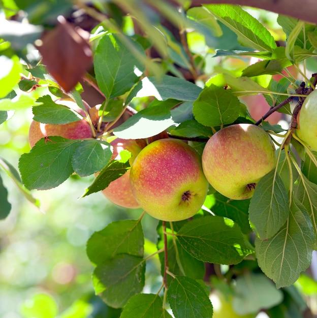 リンゴの木に赤いリンゴ Premium写真