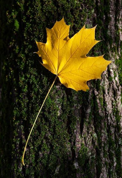 木の幹に黄色のカエデの葉、秋。 Premium写真