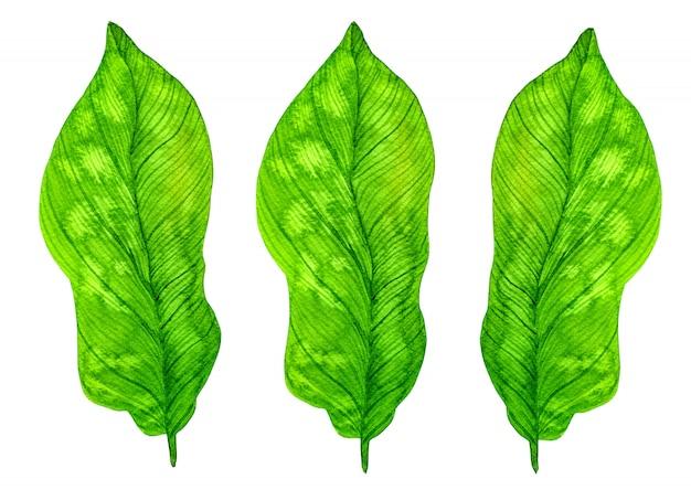 緑の熱帯水彩画の葉の分離 Premium写真