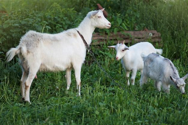 ヤギは緑の牧草地に放牧されています Premium写真