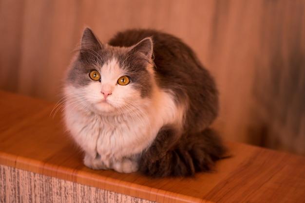 白と灰色の猫、巨大な目で見ている子猫の好奇心 Premium写真