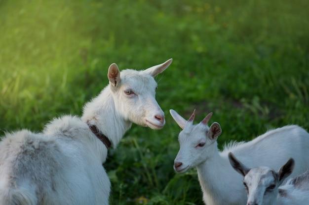 ヤギの子供を持つヤギ、家族のヤギは緑の牧草地に放牧されています Premium写真