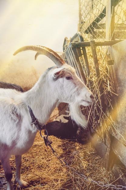 納屋の空き地でポーズをとるヤギ Premium写真