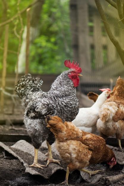 Свободный выгул петуха и кур в саду Premium Фотографии