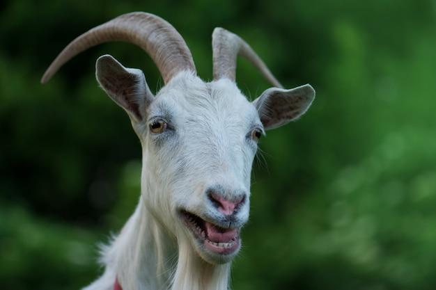 好奇心が強い幸せなヤギ、面白い愚かな見ているヤギ Premium写真