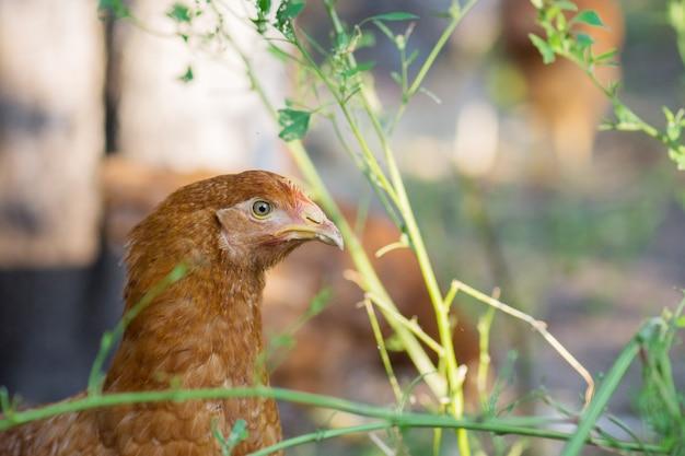 春の牧草地で茶色の鶏の頭のクローズアップ Premium写真