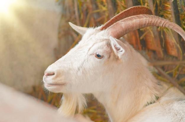 ヤギの飼育場白いヤギの肖像画。 Premium写真