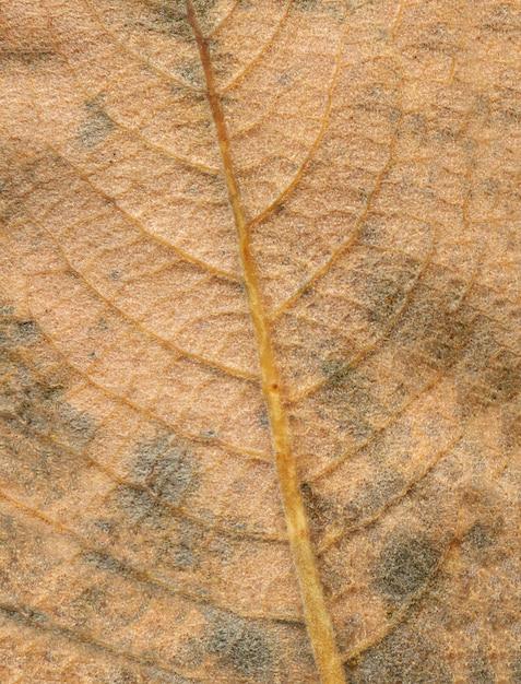 Абстрактные вены листьев. коричневый осенний отпуск крупным планом. место для надписи Premium Фотографии