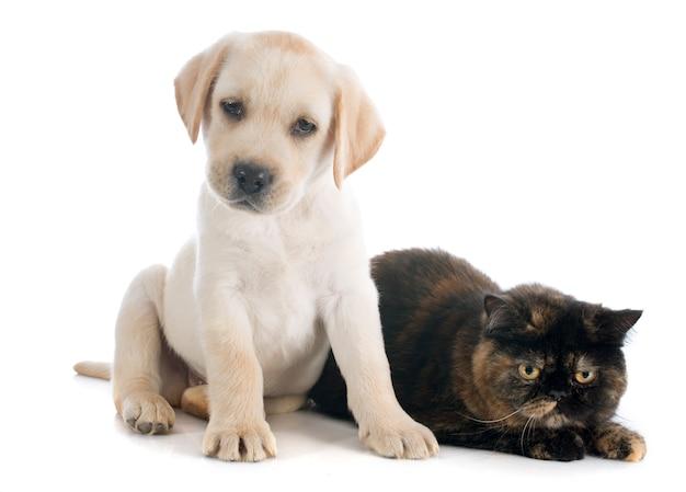 エキゾチックなショートヘアの猫と子犬 Premium写真