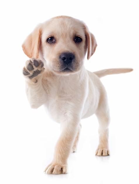 子犬のラブラドールレトリーバー Premium写真