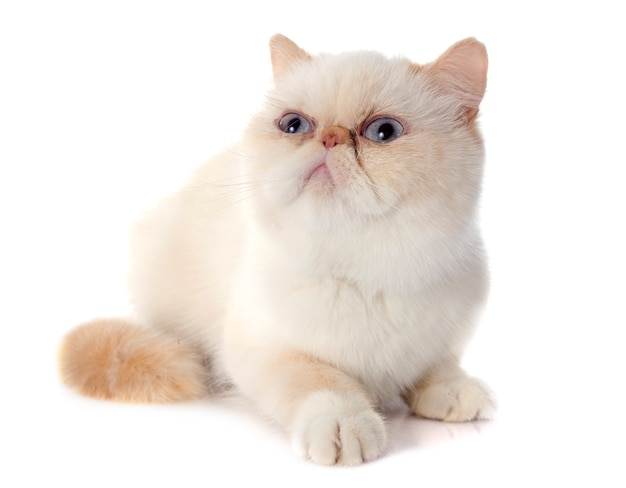 エキゾチックなショートヘアの猫 Premium写真