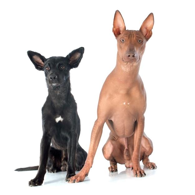 ペルーの犬 Premium写真