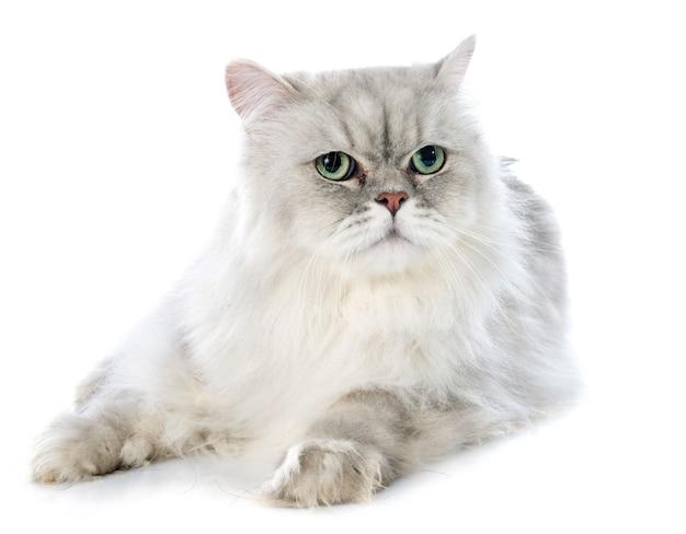 ペルシャ猫 Premium写真