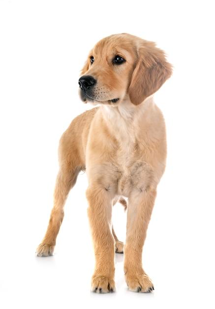 子犬ゴールデンレトリバー Premium写真