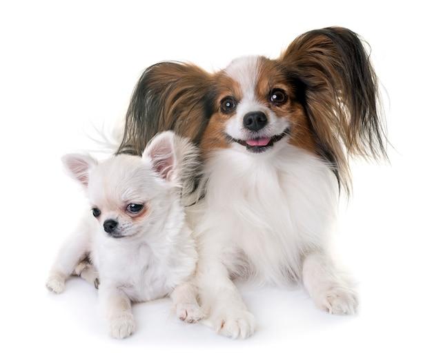 パピヨン犬とチワワ Premium写真