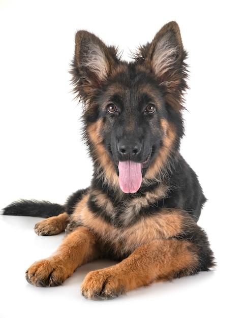 子犬ジャーマンシェパード Premium写真