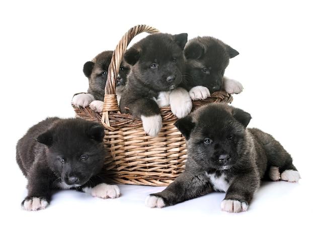 子犬アメリカン秋田 Premium写真