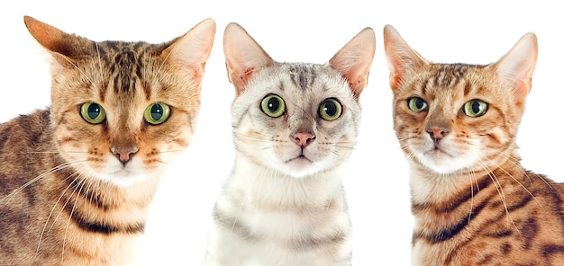 Бенгальские кошки, изолированные на белом Premium Фотографии
