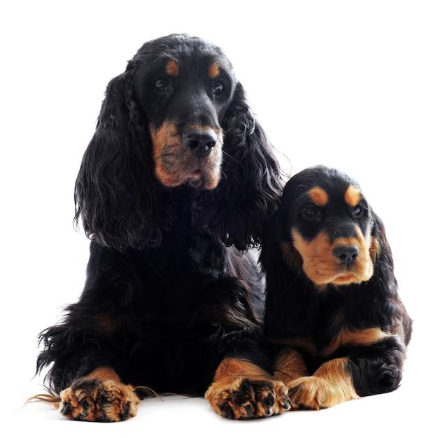 子犬と大人のイングリッシュコッカー Premium写真