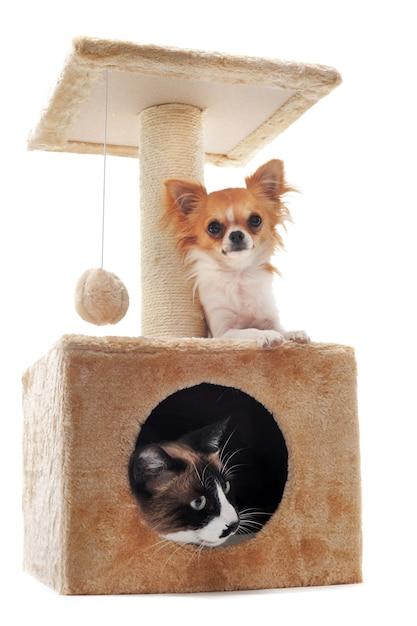 チワワとシャム猫 Premium写真