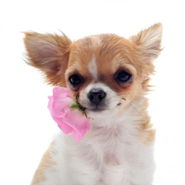 子犬チワワと花 Premium写真