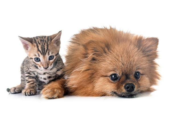 ベンガル子猫とポメラニアン Premium写真