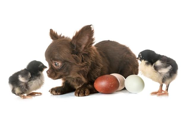 Щенок чихуахуа и птенцы Premium Фотографии
