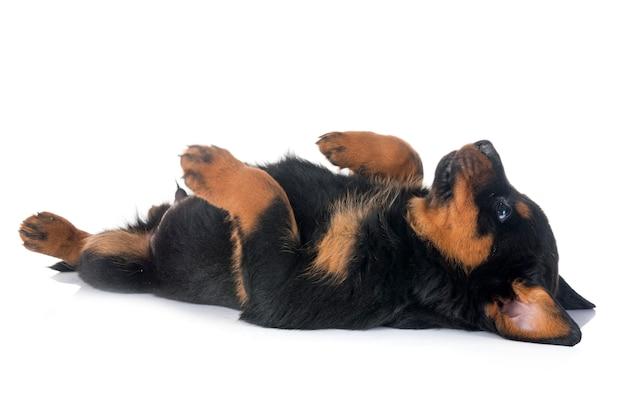 スタジオで子犬ロットワイラー Premium写真