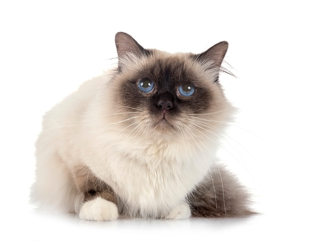 Бирманский кот на белой стене Premium Фотографии