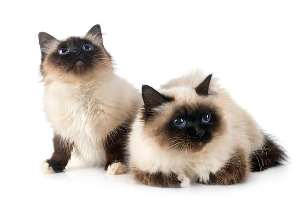 Бирманские кошки в студии Premium Фотографии