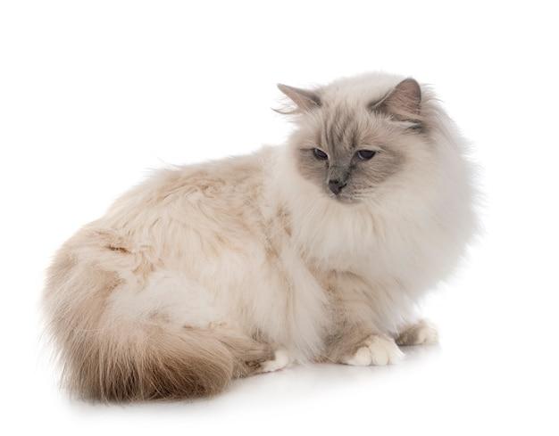 Бирманский кот в студии Premium Фотографии