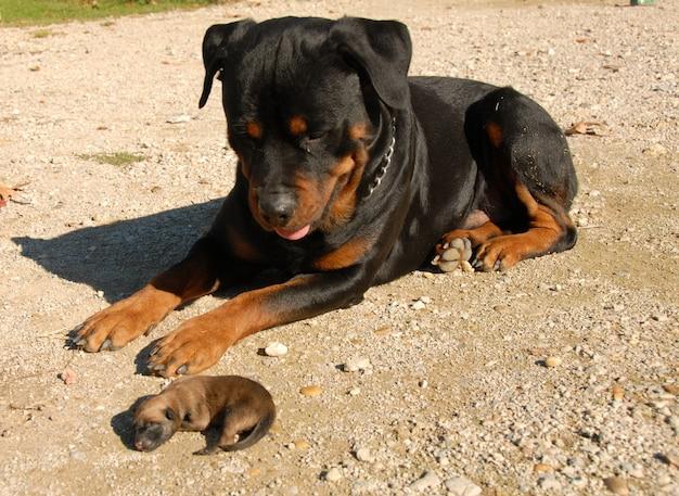 Ротвейлер и щенок Premium Фотографии