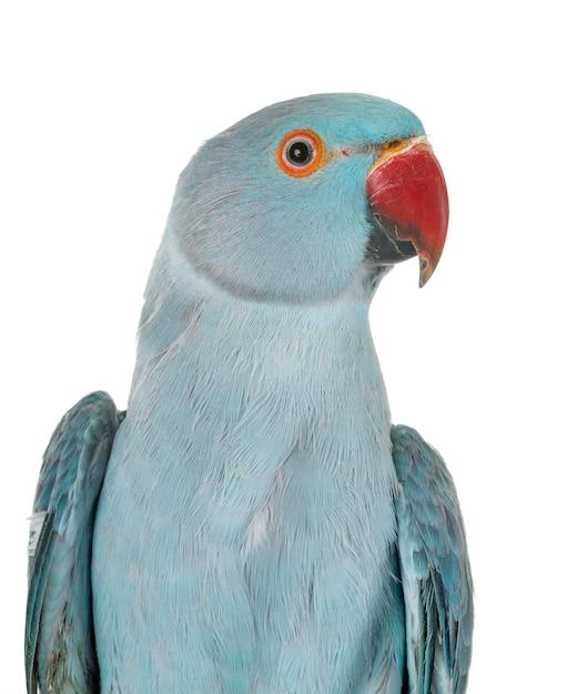 Роза рингер попугай в студии Premium Фотографии