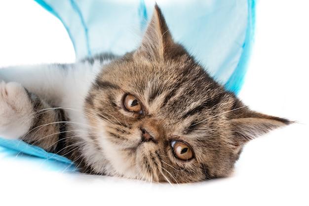 エキゾチックなショートヘア子猫 Premium写真