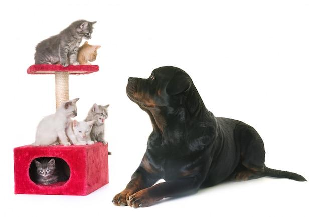 子猫とロットワイラー Premium写真