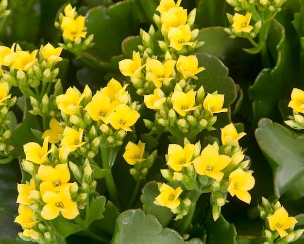 黄色のカランコエ Premium写真