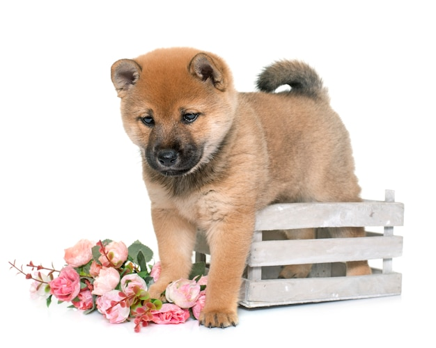子犬柴犬 Premium写真