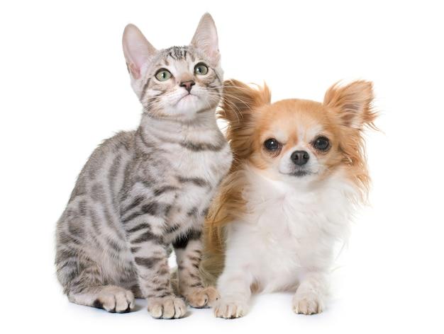 銀ベンガル子猫とチワワ Premium写真