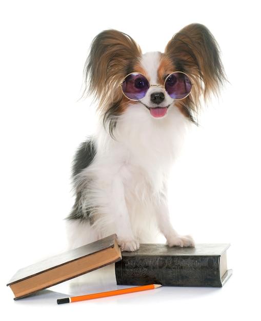 学校のパピヨン犬 Premium写真