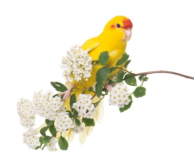 Попугай какарики с красными гранями Premium Фотографии