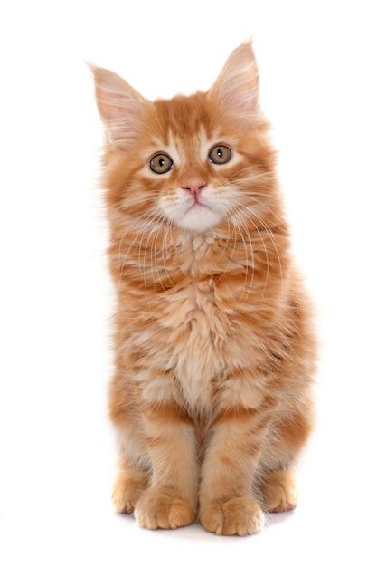 Котенок мейн кун Premium Фотографии