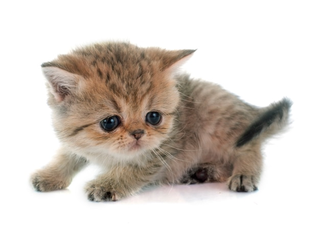 子猫のエキゾチックなショートヘア Premium写真