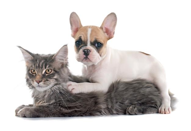 子犬フレンチブルドッグと猫 Premium写真