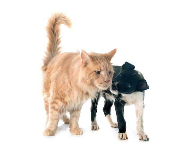 子犬ボーダーコリーとメインクーン Premium写真