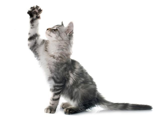 メインクーン子猫 Premium写真